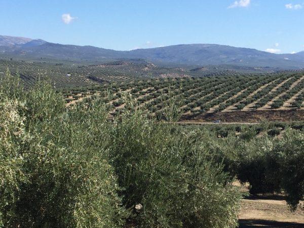 Aprobado el comienzo de riego en olivar