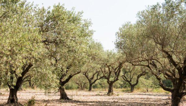 Aforo de aceite de oliva 2018-19